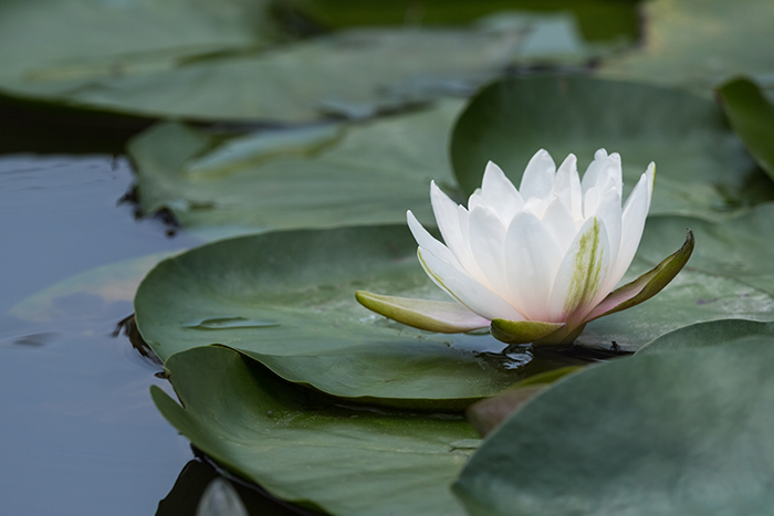 white lily image