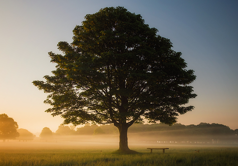 old tree at dawn